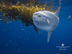 The Ocean Sunfish, Mola mola, or common Mola, is the heaviest known bony fish in the world. It has an average adult weight of 1,000 kg.