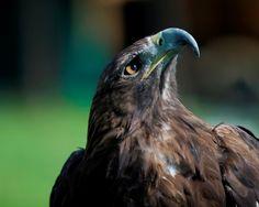 Águila real | Parque de la naturaleza de Cabárceno | Cantabria | Spain