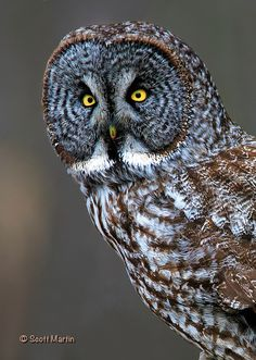 ☀Great Gray Owl Portrait (by sugar zebra)*