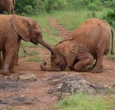 Mbegu offers a helping trunk to Boromoko Both orphans are part of Ndotto's mini herd, which also includes youngsters Kauro, Roi, and Kamok. This little herd of six babies spend the day as a group; playing, feeding and learning together accompanied by our Keepers. via The David Sheldrick Wildlife Trust FB