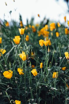 California Poppy Print @society6