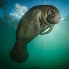 "76.4k Likes, 534 Comments - National Geographic Creative (@natgeocreative) on Instagram: ""Photographer @paulnicklen captures a #manatee in Lynbia #algae. The algae has invaded #Florida's…"""