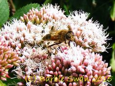 A bee on a valerian flower Copyright (C) Barbie Swan 2015
