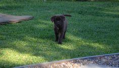 Chocolate Labrador, just struttin my stuff. Labrador Puppies, Labrador Retriever, Dog Lovers, Bird, Chocolate, Cats, Animals, Labrador Retrievers, Gatos