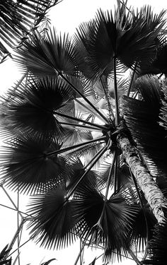 https://flic.kr/p/LJPhui | eden-project-1 | View of palm tree in tropical biome of the Eden Project, Cornwall.