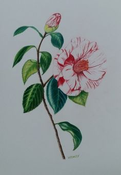 Camellia, Plants, Painting, Painting Art, Paintings, Plant, Painted Canvas, Drawings, Planets