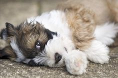Poppy the puppy, Tibetan Terrier