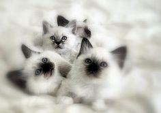 I want a rag-doll kitty oh so bad...
