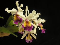 Cattleya species, Colombian pride