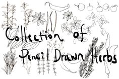 collection of pencil drawn herbs by sally123 on @graphicsmag