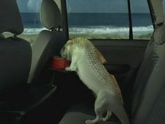 Dogfish: weird Brazilian pet /Volkswagen