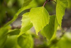 "Birch leaf or Birch Bark Tea ""Betula pendula"" / medicinal herb / mildly diuretic Vegetable Garden, Garden Plants, Betula Pendula, Sweet Woodruff, Diuretic, Leave In, Cystitis, Birch Bark, Medicinal Herbs"