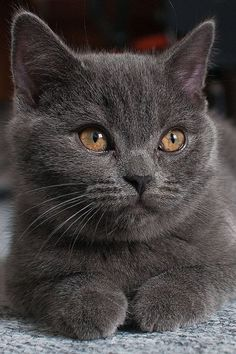 Russian Blue Cats Kittens I love grey cats! Cute Cats And Kittens, Cool Cats, Kittens Cutest, I Love Cats, Blue Cats, Grey Cats, Gray Kitten, Baby Animals, Funny Animals