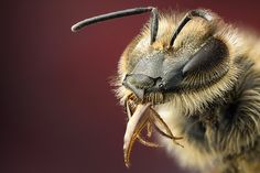 tongue from a bee by Maianer, via Flickr