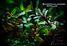Bucephalandra sp. Apollo | Tomasz Wastowski | Flickr