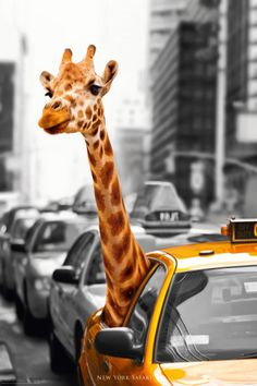 OMG! Giraffe in a NY Yellow cab! <3 ~ New York-Safari Poster. We all know New York is a jungle, now we can get a ride with a giraffe! LOL <3 <3 What do you think giraffe said to the taxi driver? <3 <3 <3