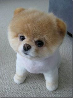 Just like my aunt's toy Pomeranian, Rocky. He was a good pooch. I WANT ONE OF MY OWN. <3
