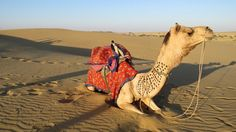 India - Rajasthan - Jaisalmer - Dromedary ride in the desert - Pictures