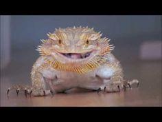 Bearded Dragon vs Crickets, Funny Presentation.