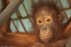 21 orangutans were released into the wild at the Bukit Batikap Conservation Forest earlier this month and their reactions - joyful, uncertain, apprehensive - were all caught on camera. Little Sifa looks a bit nervous as he embarks on the move from the Nyaru Menteng rescue centre to the conservation forest