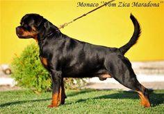 WORLD BEST Rottweiler    .jpg (600×420)