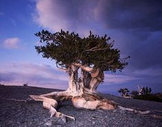 The Bristlecone Pine is the oldest tree in the world,around 5,000 years old.Some of the oldest Bristlecones were already 300 years old by the time the Ancient Egyptian Pyramids were built!