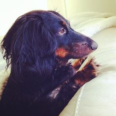 Cocoa awoken from a nap by some noise outside - she has to check things out. #dachshund #sausage dog#weiner dog# #cutest dog #cocoloco# maxandcocoa#pets#dogs rule
