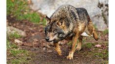 волк: 24 тыс изображений найдено в Яндекс.Картинках