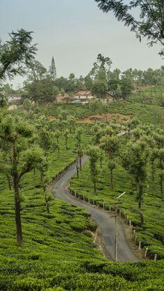 Munnar Tea Garden, #Kerala Luxury Hotels at Kerala www.hotel-booking-in.com.