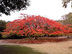 Poinciana, I miss these trees so much! Florida Plants, Flowering Trees, Are You Happy, Beautiful Flowers, Sunrise, Flora, Tropical, Country Roads, Landscape