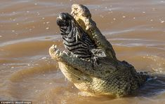 A fully grown zebra swallowed whole by a massive Nile crocodile in Maasai Mara National Reserve, Kenya