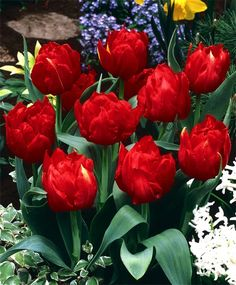 Tulip Abba - Double Early Tulips - Tulips - Flower Bulb Index Bulb Flowers, Tulips Flowers, Flowers Nature, Spring Flowers, Beautiful Flowers, Red Tulips, Daffodils, Colorful Flowers, Roses