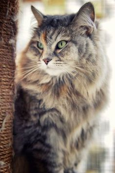 .Maine Coon cat.                                                                                                                                                                                 More