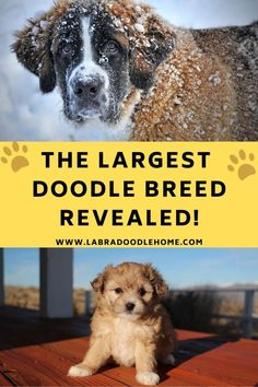 Top Dog Breeds, Large Dog Breeds, Big Dogs, Large Dogs, St Berdoodle, Best Puppy Food, Puppy Facts, Cool Doodles, Labradoodles