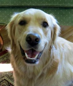 Sky is an adoptable Golden Retriever searching for a forever family near Cheshire, CT. Use Petfinder to find adoptable pets in your area.