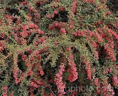 Image result for berberis wilsoniae Plants, House, Image, Home, Plant, Homes, Planets, Houses