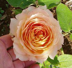 Rose 'Antique Carmel'