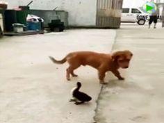 O pato pensava que era uma minhoca 🐾 Que Moca 🐾, quando viu que era o amigo 👍🏼patolas👍🏼 não o Moca