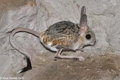 Top 6 Rare Animals And Weird-Looking Animals Around The World Hamsters, Rodents, Primates, Mammals, Red Lipped Batfish, Long Eared Jerboa, Beautiful Creatures, Animals Beautiful, Deep Sea Sharks
