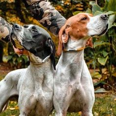 14 Interesting And Fun Facts About English Pointers English Pointer Dog, English Cocker, Pointer Puppies, Lab Puppies, Whitetail Deer Hunting, Pheasant Hunting, Hiding In The Bushes, Lakeland Terrier, Hunting Dogs