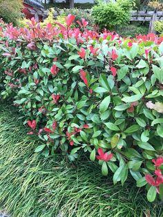 Sterke en snelgroeiende bladhoudende haagplant, ook geschikt voor plantvakken, laat zich goed snoeien. Geeft in de lente ook prachtige witte bloemen en heeft een groen tot rood blad. Photinia Fraseri Red Robin, Photinia Red Robin, Plants, Terrace, Plant, Planets