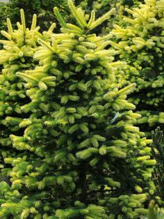 Picea pungens 'Colonial Gold' - Conifer Kingdom