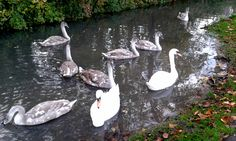 #Swan ning around November 2015 #River #Arun #Arundel #Sussex  https://www.pinterest.com/annbri/