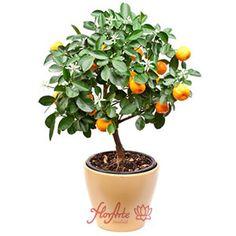 Regalar un mandarino a domicilio para Madrid