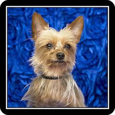 Costa Mesa, CA - Yorkie, Yorkshire Terrier Mix. Meet Tinker, a dog for adoption. http://www.adoptapet.com/pet/13593791-costa-mesa-california-yorkie-yorkshire-terrier-mix
