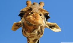 #DidYouKnow that giraffes only have bottom teeth?