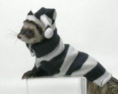 A collection of funny ferrets in sweaters. A collection of funny ferrets in sweaters. - Animals, Cute - Check out: Ferrets in Sweaters on Barnorama Ferrets Care, Funny Ferrets, Animals And Pets, Funny Animals, Cute Animals, Ferrets In Sweaters, Ferret Clothes, Pet Ferret, Cat Hat