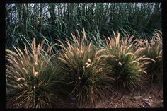 Red Fountain Grass, Eaton Canyon, Pennisetum Setaceum, Wholesale Nursery, Plant Information, Sun And Water, Drought Tolerant, Red Riding Hood, Red Flowers