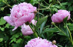 Ljuvligt rosa pion Sarah Bernhardt i Greenspires trädgård.