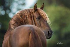 Percheron Horses, Haflinger Horse, Mare Horse, Beautiful Horse Pictures, Cute Animal Pictures, Beautiful Horses, Equine Photography, Animal Photography, Horse Portrait